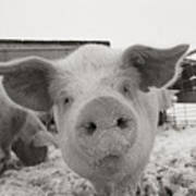 Portrait Of A Young Pig. Property Print by Joel Sartore