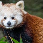 Portrait Of Cini The Red Panda Art Print