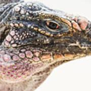 Portrait Of Iguana Art Print