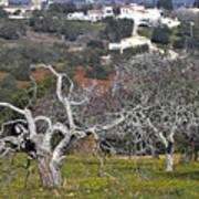 Portuguese Almond Plantation Art Print