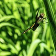 Posing Dragonfly 2 Art Print