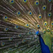 Posing Peacock Art Print