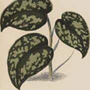 Pothos Argyraea Art Print