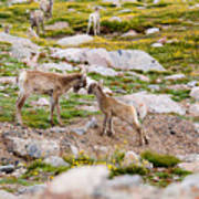Practicing Baby Bighorn Sheep On Mount Evans Colorado Art Print