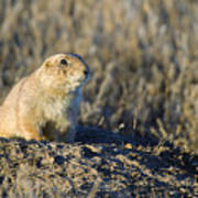 Prairie Dog Watchful Eye Art Print