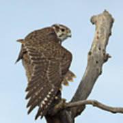 Prairie Falcon Stretching Art Print