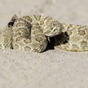 Prairie Rattlesnake  Art Print