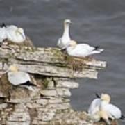 Precarious Nesting Bempton Gannets Art Print