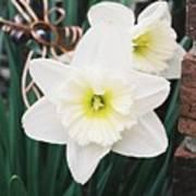 Precious Daffodils Art Print