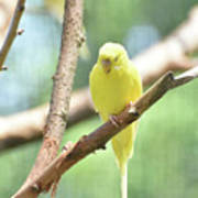 Precious Little Yellow Parakeet In The Wild Art Print