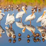 Preening Primping Pelicans Art Print