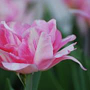 Pretty Candy Striped Pale Pink Tulip In Bloom Art Print