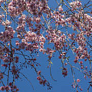 Pretty In Pink - A Flowering Cherry Tree And Blue Spring Sky Art Print