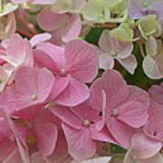 Pretty In Pink Hydrangeas Art Print