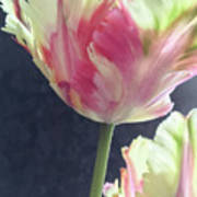 Pretty Parrot Tulip 2 Art Print
