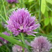 Pretty Purple Chive Flower Art Print