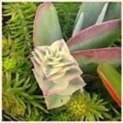 Pretty Succulents Art Print