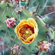 Prickly Pear Bloom Art Print