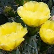 Prickly Pear Cactus Blossoms Art Print