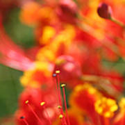 Pride Of Barbados Art Print