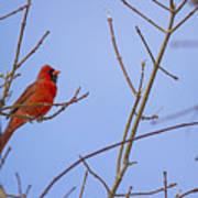Primary Colours - Northern Cardinal - Cardinalis Cardinalis Art Print
