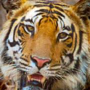 Prime Tiger Art Print
