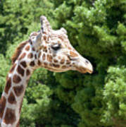 Profile Of A Giraffe Art Print