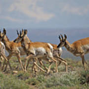 Pronghorn Antelope Running Art Print