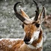 Pronghorn Buck In Snow - Yellowstone National Park Art Print