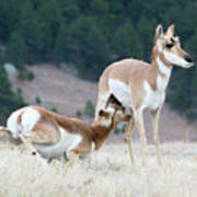 Pronghorn Feeding Art Print