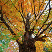 Proud Maine Tree In The Fall Art Print