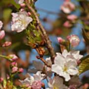 Prunus Amanogawa Art Print