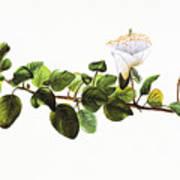 Puapilo Plant Art Print