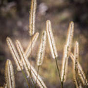 Foxtails In The Marsh Art Print