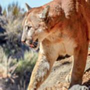 Puma Mountain Lion Nature Wear Art Print