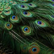 Pure Peacock Art Print
