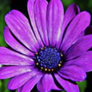 Purple African Daisy Art Print