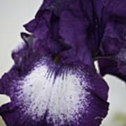 Purple And White Iris Bloom Art Print