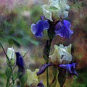 Purple And White Irises 6647 Dp_2 Art Print