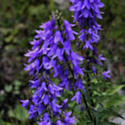 Purple Bell Flowers Art Print