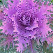 Purple Cabbage Plant Art Print