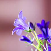 Purple Campanula Blooms Art Print