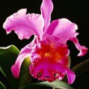 Purple Cattleya Art Print