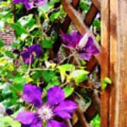 Purple Clematis On Trellis Art Print