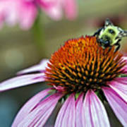 Purple Cone Flower And Bee Art Print