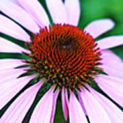 Purple Coneflower Close-up Art Print