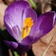 Purple Crocus Art Print