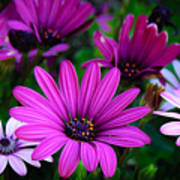 Purple Daisies Art Print
