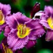 Purple Day Lillies Art Print