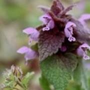 Purple Deadnettle Bloom Art Print